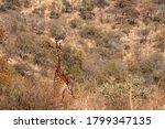 Tall Giraffe Seen From The Bac...