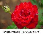 Beautiful Closeup Of Rose...
