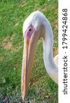 Pelican Close Up  A Beautiful...