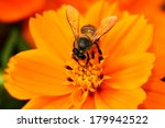 A Bee On Yellow Cosmos Flower