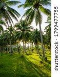 View Coconut Tree At Krabi ...