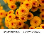 Orange Chrysanthemums Close Up...