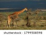 Adult Reticulated Giraffe...