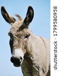 Mini Donkey Portrait Outdoors...