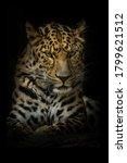 Amur Leopard  Panthera Pardus...