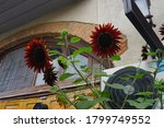 Red Sunflowers Outside A Home...