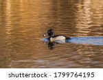 Male Ring Necked Duck  Aythya...