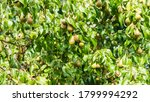A Shot Of A Pear Tree With...