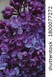 Its A Purple Verbena Flower