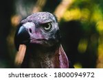 Red Headed Vulture Portrait ...