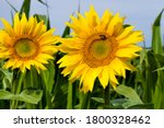 Annual Sunflower With Yellow...