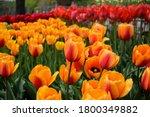 Brilliant Tulip Flowers With...