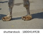 Legs Of A Camel Close Up