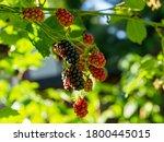Blackberries On A Bush In The...