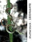 Ornate Flying Snake Coiled Up...