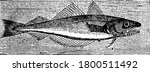 The Fish Called The Whiting Is...