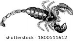Scorpions are predatory arachnids of the order Scorpiones, They have eight legs, vintage line drawing or engraving illustration.
