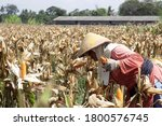 Under the hot sun  farmers in...