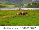 Cows And Cattle Grassing In The ...