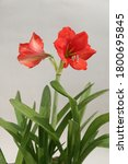 Hippeastrum Red Lionor Red...