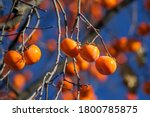 Persimmon Matures On The Tree....