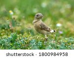The Isabelline Wheatear...