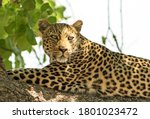 African Leopard (panthera pardus) looking content while resting on a large branch in south luangwa national park, zambia - stock photo