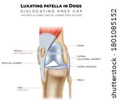 luxating patella in dogs  it... | Shutterstock .eps vector #1801085152