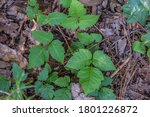 A Clump Of Poison Ivy Growing...