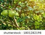 Close Up Of Green Grapefruit...