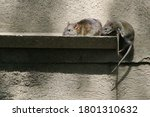Small photo of The brown rat (Rattus norvegicus) is the dominant rat in Europe and much of North America.