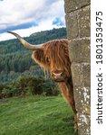 The Peeking Cow  Highland...
