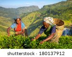 Female Tea Pickers In Plantage...