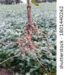 Nodules May Form On The Soybean ...