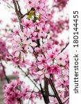 cherry blossom | Shutterstock . vector #180144455
