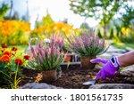 A Woman Plants Autumn Heathers...
