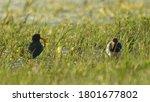 Eurasian Oystercatcher ...