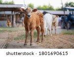 Calf In Cattle Cow Farm