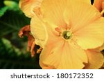 Yellow Pansy With Leaves...