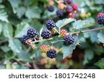 Blackberry Ripening From Branch ...