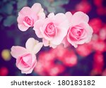 Pink Rose In Garden With Retro...