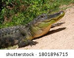 American Alligator Close Up...