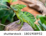 An Adult Male Green Basilisk...