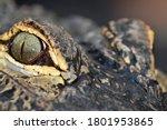 Close Up Of Crocodile Eyes ...
