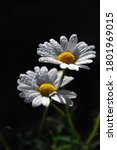 Chamomile With Raindrops In The ...