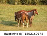 Three Speckled Horses In A Field