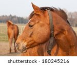 Close to a typical brown horse in Germany - stock photo