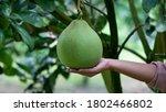 Hand Holding Pomelo Citrus...