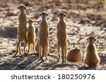 Suricate Family Standing In Th...