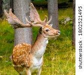 Fallow Deer Buck  Dama Dama ...